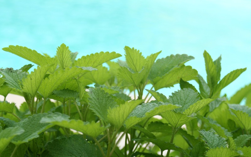 Kantoorplant citroenmelisse