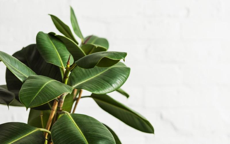 Kantoorplant Ficus Robusta